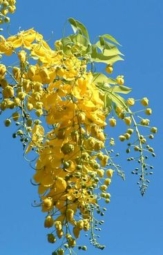 133 best landscape plant softscape images on pinterest cassia fistula golden shower rajah kayu ccuart Gallery