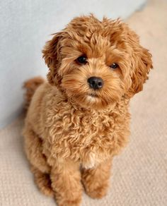 Spotlighting Cavapoos/Cavoodles and Cavapoo/Cavoodle mixes. Baby Animals Super Cute, Super Cute Puppies, Cute Little Puppies, Cute Little Animals, Cute Dogs And Puppies, Baby Puppies, Cute Funny Animals, Baby Dogs, Doggies