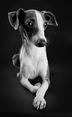 Italian Greyhound~I reaaally want one of these dogs! <3