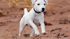White Jack Russell Terrier.