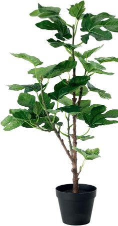 Fiddle-leaf fig tree--A little Greenery..a Staple of must-have Home Accessories