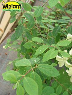 Lonicera xyl. 'Clavey's Dwarf', Prakttry. Blågrönt bladverk genom hela säsongen.   Vita blommor på våren.  Höjd: 10 år 70 cm, 15 år 1,5 m.  Kan behöva föryngringsbeskärning 1 ggr vart 10 år.  Zon IV.