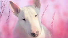 9 Solid Facts About Bull Terriers