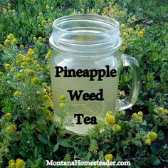 "Pineapple Weed, also called Wild Chamomile, is a common ""weed"" that makes a delicious herbal tea you can forage for free! Montana Homesteader"