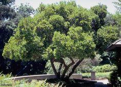 Arbustus unedo - Madroño autoctona