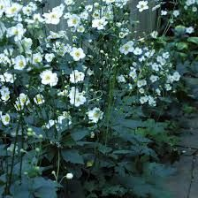Image result for Japanese Anemone white