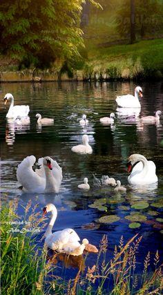 Ada Dalilah Rincon Boehemio - Google+ Beautiful Swan, Beautiful Birds, Animals Beautiful, Beautiful Places, Cute Animals, Beautiful Nature Pictures, Beautiful Nature Wallpaper, Amazing Nature, Swan Pictures