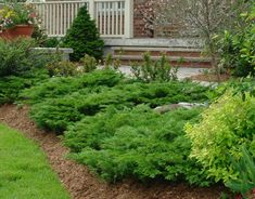 Calgary Carpet Juniper. A low growing and wide spreading branches evergreen.  With its arching branches makes it an attractive ground cover partner with deciduous shrubs. Deer resistant and drought tolerant makes it a popular evergreen for xeriscaping.