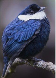 Ideas For Blue Bird Pictures Beautiful Cute Birds, Small Birds, Pretty Birds, Little Birds, Colorful Birds, Little Bird Tattoos, Black Bird Tattoo, Most Beautiful Birds, Animals Beautiful