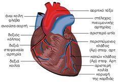 Καρδιά - εξωτερική άποψη Medicine, People, Healthy, Medical, People Illustration, Health, Medical Technology, Folk