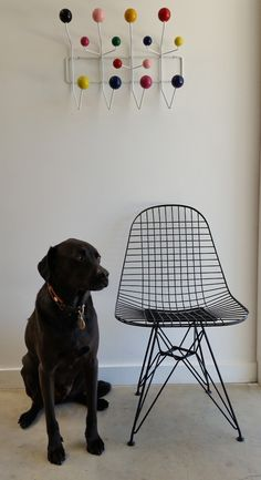 Raleigh The Eames Dog with his new and authentic Eames Wire Chair