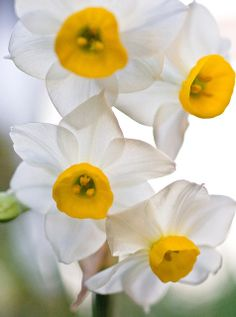 Beauty of Narcissus Beautiful gorgeous pretty flowers