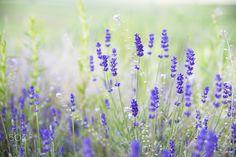 Lavender dream - sometimes dreams come true Dream Come True, Beautiful Flowers, Lavender, Dreams, Spring, Plants, Photography, Paintings, Photograph