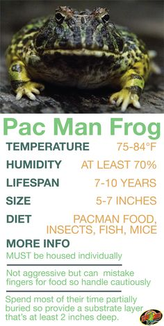 Learn the basics of Pac Man Frog habitat setup and care… Pac Man Frog Care Sheet. Learn the basics of Pac Man Frog habitat setup and care needs before bringing home your new… Continue Reading → Frog Habitat, Reptile Habitat, Reptile Room, Reptile Man, Reptile Pets, Reptiles And Amphibians, Cute Reptiles, Pac Man, Frog Terrarium