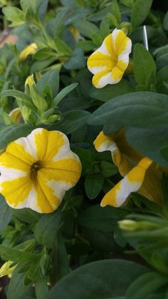 Calibrachoa Superbells Lemon Slice flowers are perfect for summer! They do great in the dry, windy, and hot weather and look just as refreshing as a lemon slice!