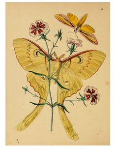 Vintage butterfly illustration; yellow butterfly.  Interesting - looks like a Luna Moth which has a pale green body and mauve ban on top