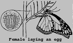 A female will usually lay only one egg per milkweed plant to ensure enough food for each larva. The egg is usually laid on the underside of the leaf, and females prefer young plants. If you do find an egg, it is best to collect the entire plant, and put its stem in water as soon as possible. If necessary, you can just take the leaf on which it is resting. If Monarchs are reared in captivity, females will lay dozens of eggs on a single plant.