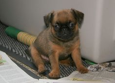 Brussels Griffon - Top 10 Smallest Dog Breeds In The World - Fun Facts for Kids