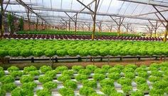 Aquaponics Farming in Panama