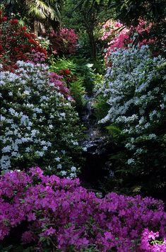 No End to Gardens   Azaleas  woodendreams:  (by ukgardenphotos)  (via imawalkingdisasterrr)