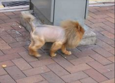 """Summer's coming, and it's time to put away those heavy fur coats. Herewith a selection of shaved cats, or, as ailurophiles call them, cats with a """"lion cut."""" And before yo… Shaved Cat, Lion Cat, Cute Pomeranian, Long Haired Cats, Like A Lion, Cat Wallpaper, Cat Grooming, Cat Health, Funny Cats"""