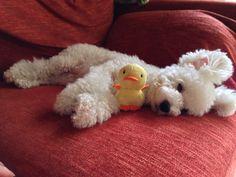 piyoko-chan as sweet as a poodle pup