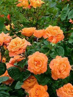 Beautiful roses 🌹