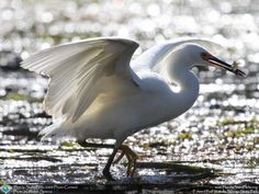 Wakulla-Springs_contest_Spence-Walter_Snowy-Egret-with-minnows-in-beak