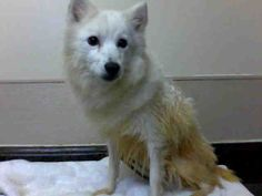 YOKO - ID#A755389  My name is YOKO.  I am a female, white American Eskimo.  The shelter staff think I am about 5 years old.  I have been at ...