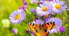 Mit der richtigen Mischung aus nektarreichen Frühjahrs-, Sommer- und Herbstblühern entsteht ein Paradies für Schmetterlinge: ein Schmetterlingsgarten.