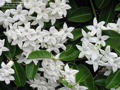 Jasmine with very small blooms but a bigger than life scent that is very lovely.