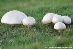 Field mushrooms...so simple and fresh.