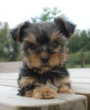 Yorkshire Terrier, it's super cute and on the I don't know, maybe, list.