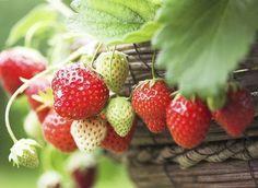 Todo sobre el cultivo de la fresa, mejores variedades y propiedades | Plantas