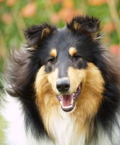 collies are such beautiful dogs.