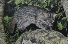Iriomote cat, a critically endangered subspecies of the leopard cat that lives only on Iriomote Island. Bizarre Animals, Extinct Animals, Animals And Pets, Small Wild Cats, Big Cats, Cool Cats, Clouded Leopard, Leopard Cat, Wild Cat Species