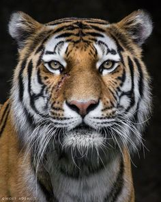 via 500px / scarred by Wolf Ademeit portrait of a tiger