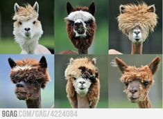 Llama haircuts. not cats- but I find it annoying all the same. ;}