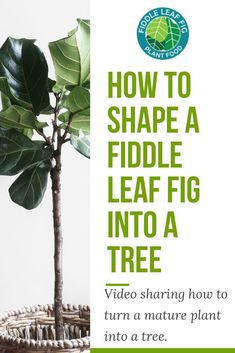 Lopsided Lanky and Leaning Oh My! Shape Your Mature Fiddle Into a Tree Do yo Ficus, Fig Leaves, Plant Leaves, Garden Plants, House Plants, Potted Plants, Fiddle Leaf Fig Tree, Small Shrubs, Tree Care