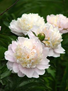 Double Chinese Peony 'Shirley Temple' (Paeonia lactiflora) #Gardening_Care…
