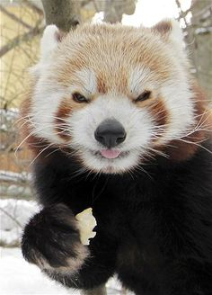 Hello everyone ! Have a wonderful time ahead! #redpanda    #bear #goodwishes #smile #happinessisaplace #welcometobhutan