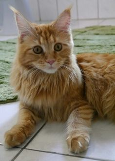 Nami the Cat Red Cat cute Maine coon http://www.mainecoonguide.com/male-vs-female-maine-coons/