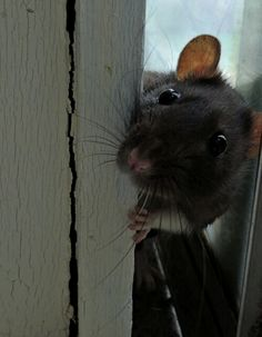 Hello?  Can I come in? This rat reminds me of my Gizmo except without the dumbo ears !