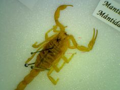 Vamos a hacer este escorpión a escala  IES Sierra Almenara Purias, Lorca-Murcia