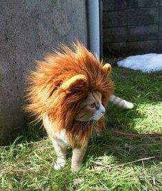 Hahaha I will never get a cat, but if I see one on the street, I'm kidnapping it, putting this mane on it, and then setting it free again looking like this.