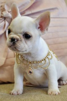 This little pup is my dream dog :)   I love French Bull Dogs!  I promise.......no jewelry - Tom !