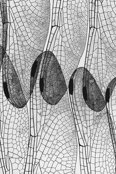 Photo by  Andreas Feininger - Dragonfly Wing, 1937