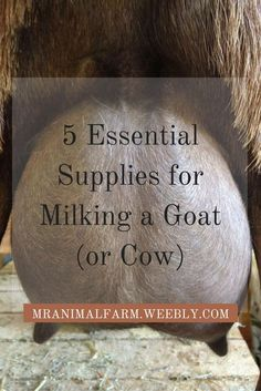 Milking a goat (or cow) can be pretty easy if you make sure you have the right supplies.  Find out here the 5 essential supplies you will need to milk your goat (or cow).