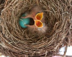 Squawk Squawk Squawk! Looks like two hungry baby birds and another one waiting to hatch.