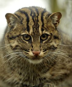 The fishing cat (Prionailurus viverrinus), female Crazy Cats, Big Cats, Cats And Kittens, Cute Cats, Beautiful Cats, Animals Beautiful, Cute Animals, Wild Animals, Wild Cat Species